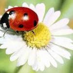 U- Uğur Böceği