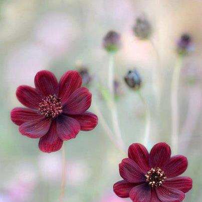 kızıl çiçek